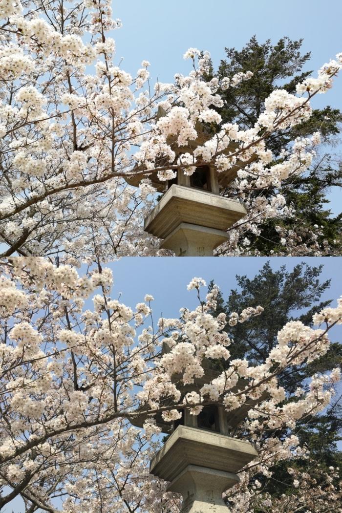 iPhone 6sのカメラとnova 2のカメラで桜を撮影した比較画像
