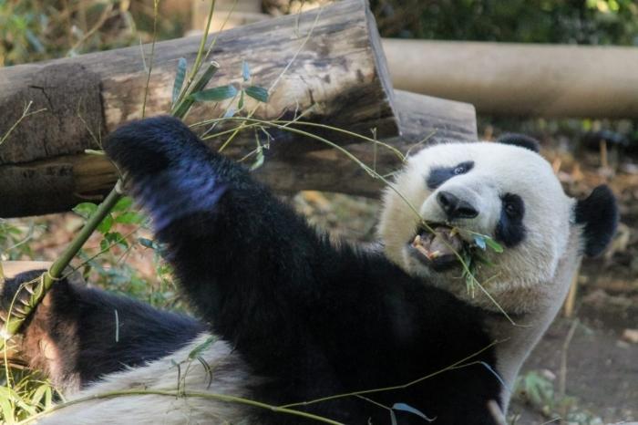 怒るパンダ